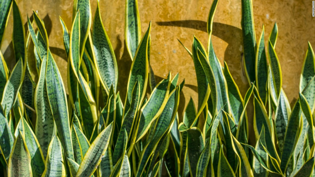 """If you're still decorating your bedroom, it's not too late to buy sansevieria trifasciata, or snake plant. It<a href=""""http://journals.usamvcluj.ro/index.php/promediu/article/view/9953"""" target=""""_blank""""> removes benzene and formaldehyde in the air and produces the greatest amount of oxygen at night</a>."""