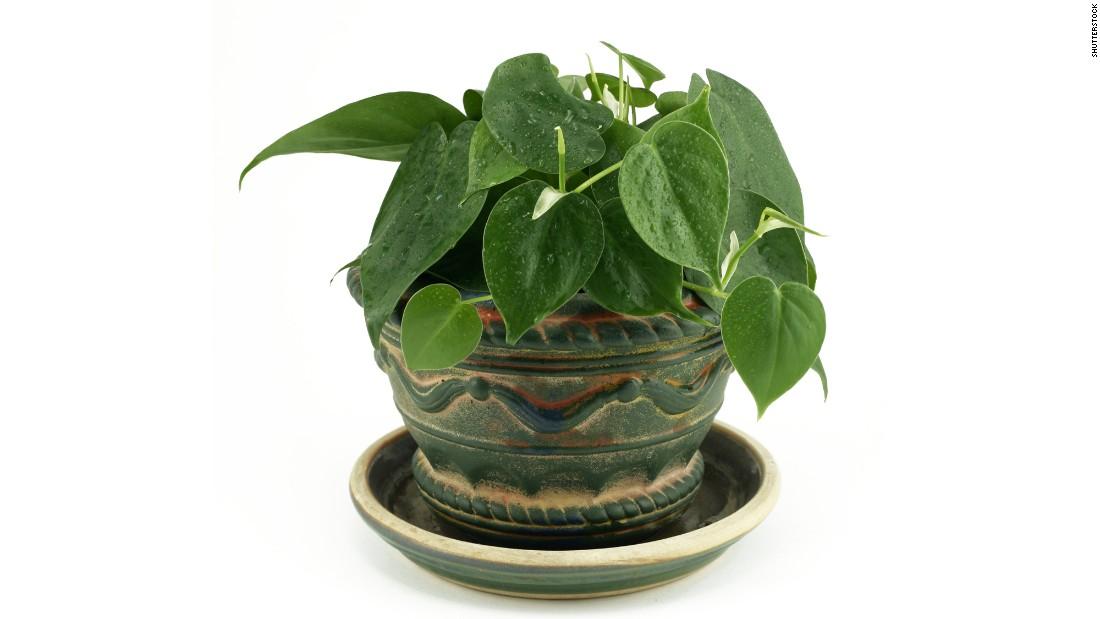 """Philodendron scandens is <a href=""""http://journals.usamvcluj.ro/index.php/promediu/article/view/9953"""" target=""""_blank"""">effective in taking out formaldehyde</a>, commonly found in cleaning products and gas stoves."""