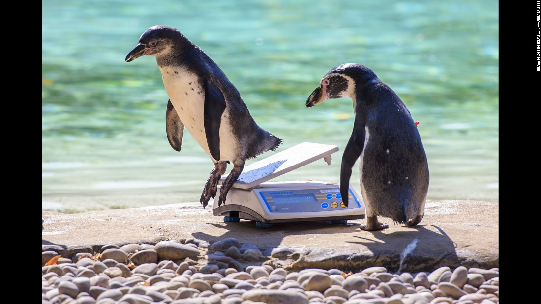 Humboldt penguins are weighed at the London Zoo's annual weigh-in on Wednesday, August 24.
