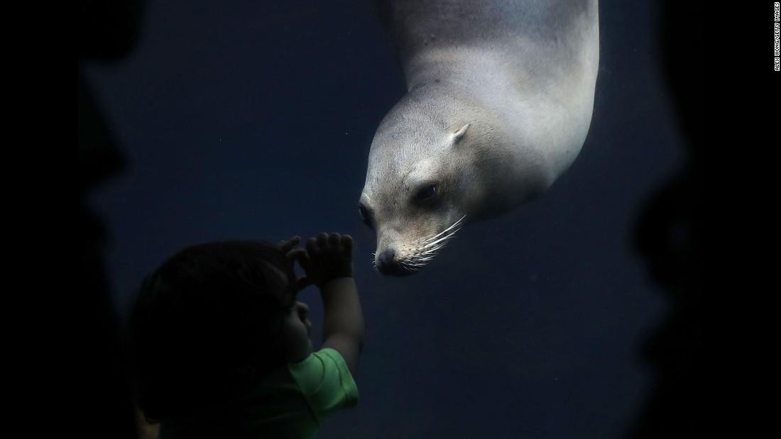 Jose Tavarez watches a California sea lion at the  Smithsonian's National Zoo in Washington on Monday, August 22.
