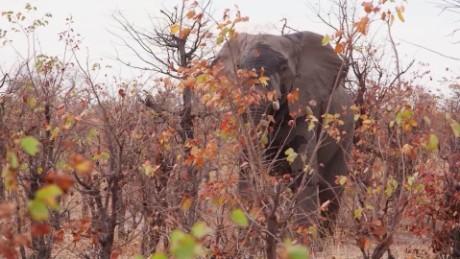 An elephant is seen through the brush in Botswana.