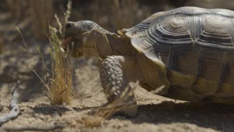 saving desert tortoises rovers game ts orig _00001016