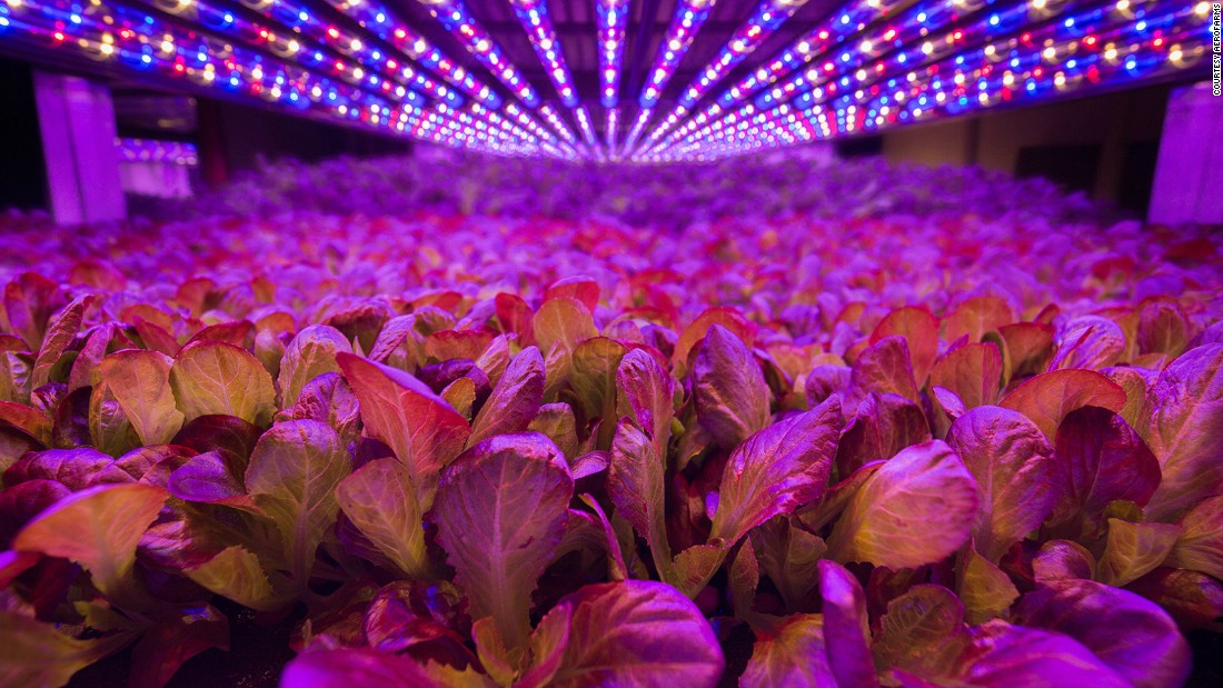 Light, air, humidity and temperature inside the farm are all tightly controlled and the method makes it possible to achieve between 22 and 30 yields a year, compared to two or three at a conventional outdoor farm.<br />