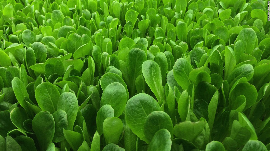 So far AeroFarms have grown over 250 varieties of leafy greens and herbs including arugula, watercress, basil and romaine lettuce, pictured.