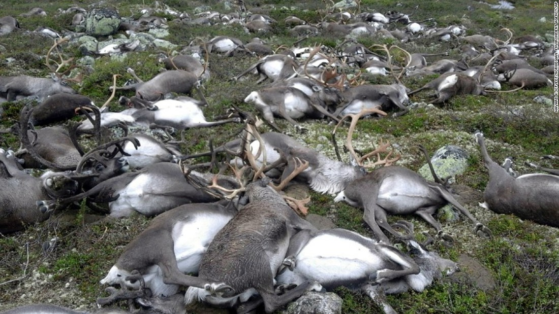 "More than 300 wild reindeer <a href=""http://www.cnn.com/2016/08/29/europe/reindeer-killed-lightning-trnd/"" target=""_blank"">were killed by a single lightning strike</a> in central Norway on Friday, August 26. Kjartan Knutsen, a spokesman for the Norwegian Environment Agency, said the reindeer were huddled together because of the bad weather in Hardangervidda National Park. Humans rarely visit the remote area."