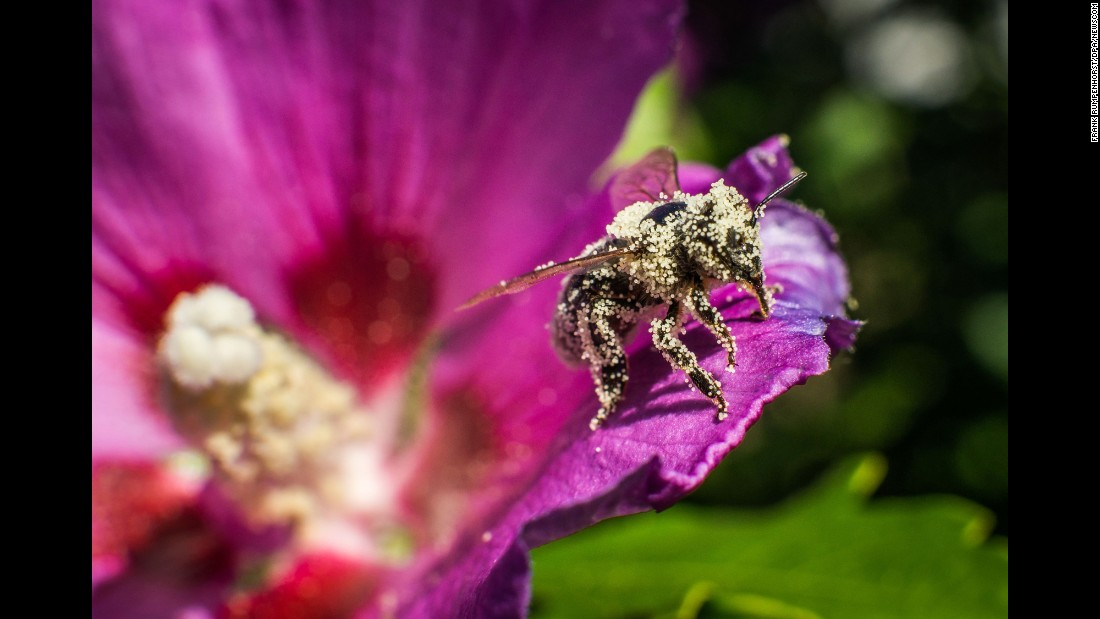 A bee is covered in pollen as it leaves a hibiscus flower in western Germany on Friday, August 26.