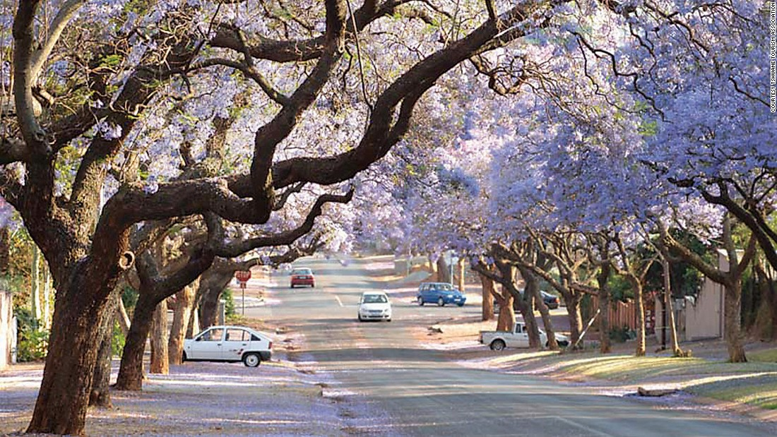 Pretoria is nicknamed the Jacaranda City as many of its streets are flanked with blossoming jacaranda trees between late September and November.