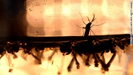 The Aedes Aegypti mosquito larvae are photographed at a laboratory of the Ministry of Health of El Salvador in San Salvador, February 7, 2016. Health authorities continue their efforts to eliminate the mosquito-borne Zika virus, currently of which there is no no cure or vaccine.  / AFP / MARVIN RECINOS        (Photo credit should read MARVIN RECINOS/AFP/Getty Images)
