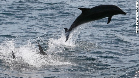 ABOARD THE MANUTE'A, CA - JANUARY 30:  Bottlenose dolphins leap off the Southern California coast on January 30, 2012 near Dana Point, California. A coalition that includes Native American tribes, Earthjustice and the Natural Resources Defense Council is on the National Marine Fisheries Service for more protection for dolphins, whales, and other migrating marine animals from the use of sonar in training by the US Navy on the West Coast. Environmental groups argue that mid-frequency sonar alters the behavior of sound-sensitive marine life and, in some cases, causes fatal results. Some whales are believed to communicate across hundreds of miles of ocean through sound.  (Photo by David McNew/Getty Images)