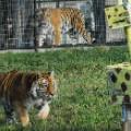 cool travel jobs - Sierra Big cat intern Turpentine Creek Wildlife Refuge