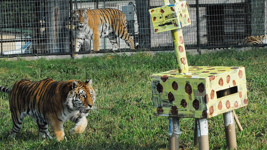Responsibilities include creating birthday treats and hosting parties for rescued Bengal tigers like Sierra, pictured.