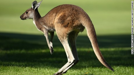 Players might have to watch out for unexpected company on the course.