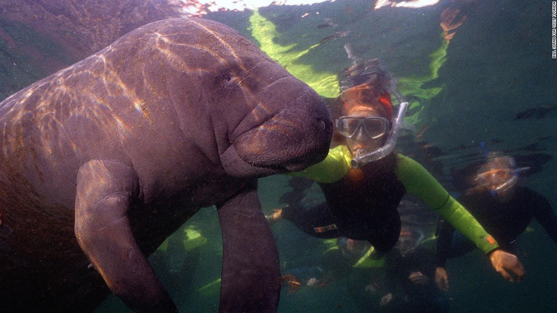 """One of the few places in the United States where you can interact with manatees, the warm waters of the Crystal River in Florida provide warm refuge for these gentle """"sea cows."""""""