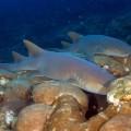 snorkeling nurse sharks belize