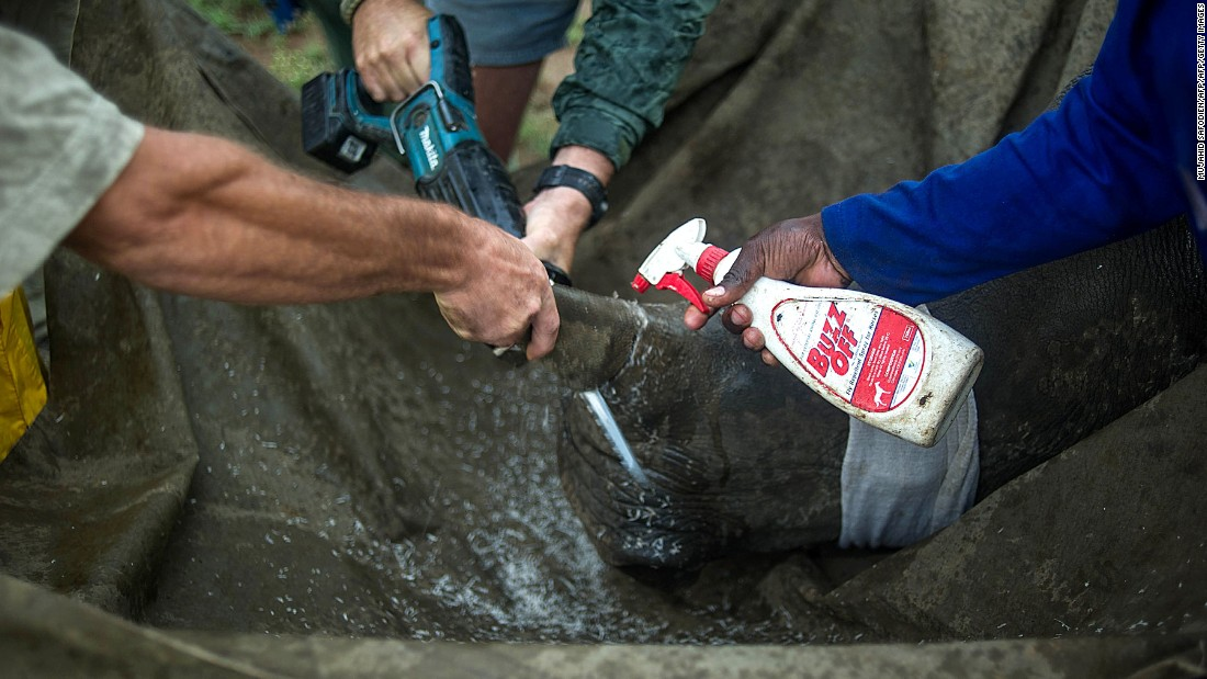 Using a battery-driven saw, rangers remove a horn, spraying it with cold water to prevent over-heating and burn injuries.