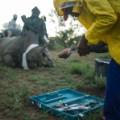 rhino dehorning 2