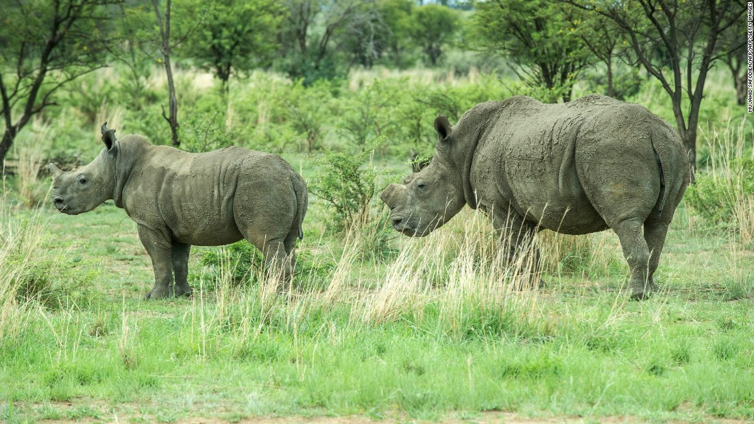 """""""This view is strongly opposed by many conservation and animal rights NGOs,"""" he adds, """"which means that this approach is unlikely to get sufficient support from governments to end the 39 year old CITES ban on trade."""""""