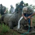 rhino dehorning 4