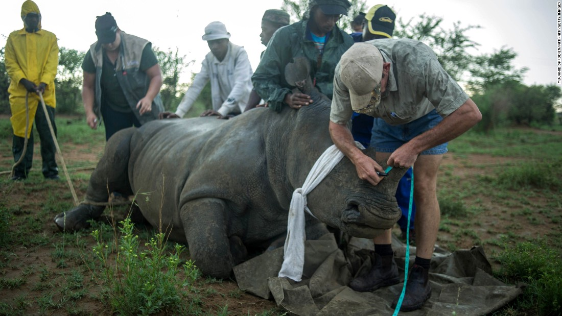 Somerville says he witnessed the dehorning of a large bull rhino. First it was tranquilized, then blinkers were attached to cover the animal's eyes, before ropes were fixed to its back legs.