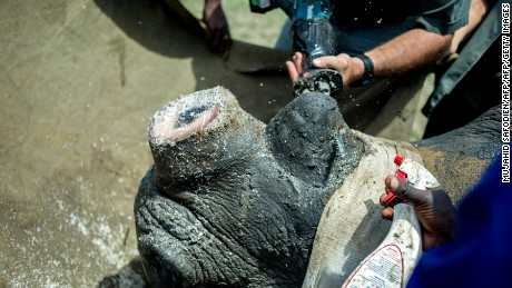 Rangers and farm workers dehorn a rhino by trimming part of his horn at John Hume's Rhino Ranch in Klerksdorp, in the North Western Province of South Africa, on February 3, 2016.