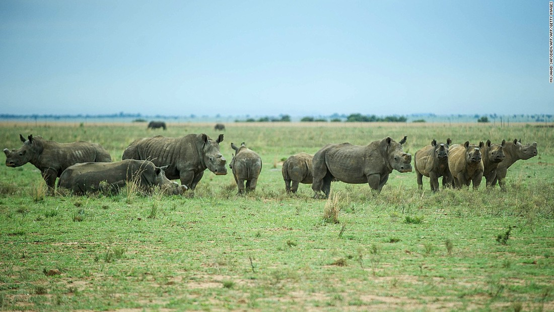 """There is currently a ban on the international trade in rhino horn,"" writes Somerville. ""Hume believes that rhinos in the wild will only be saved through a combination of good security and dehorning, at least on private ranches. A few national parks and reserves want to dehorn and there is a lobby for a regulated and closely monitored legal trade in rhino horn."""