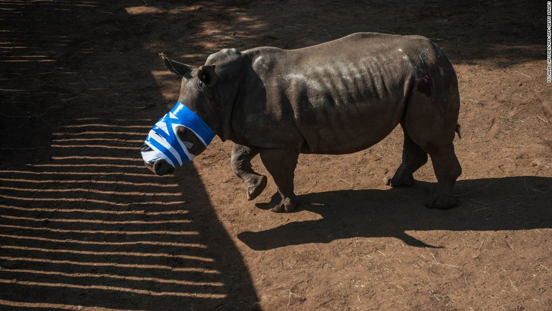 A rhino on a ranch in Bela Bela, 150 kilometers north of Johannesburg. This animal had been dehorned by poachers and left for dead, requiring stitches to repair the wound. Some poachers hack beneath the skin and remove the horn bed, leaving rhinos with gaping wounds.