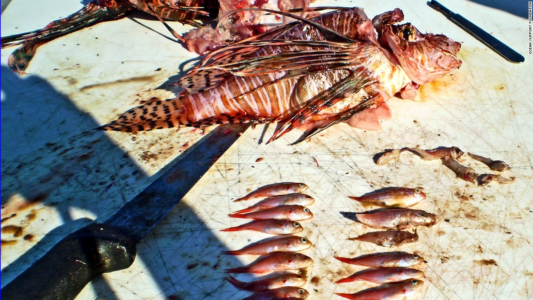 Invasive lionfish are not recognized as a threat by native fish, allowing them to gorge to the point of obesity. <br /><br />Lionfish eat everything from shrimp and squid to molluscs and lobster, and have decimated native species populations.