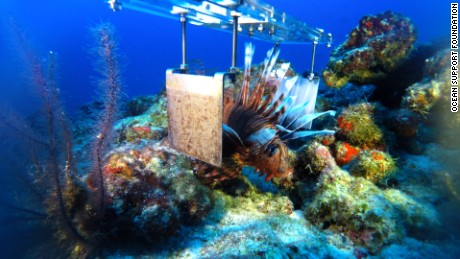 Lionfish between electrodes during trial of the technology.