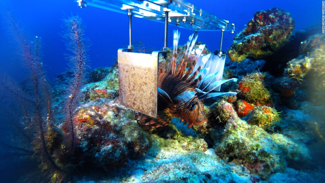 A lionfish between two electrodes during tests of a prototype of a robot designed to cull the invasive species.