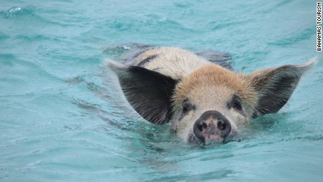 Resident pigs on Big Major Cay in the Bahamas regularly take to the water.