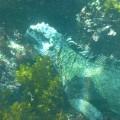snorkeling galapagos marine iguana