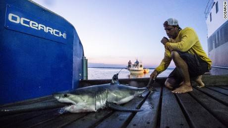 Ocearch tagged Montauk the shark a young-of-the way great white, tagged August 19