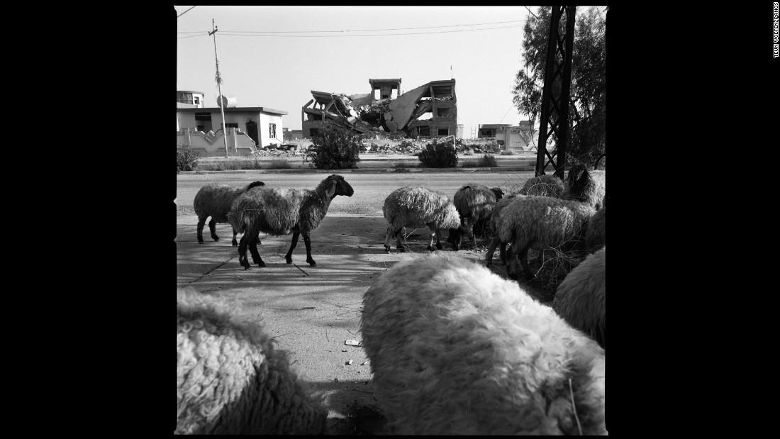Sheep walk down a deserted street in Sinjar.