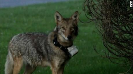 cnnee vo rec salven al coyote peticion _00001229