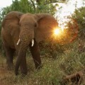african elephant cites