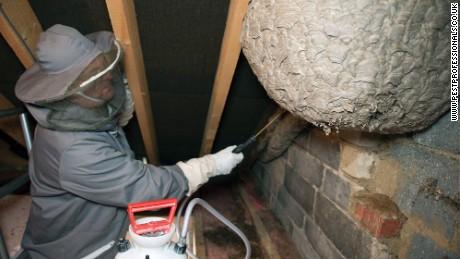 Pest control attempts to handle the gargantuan nest