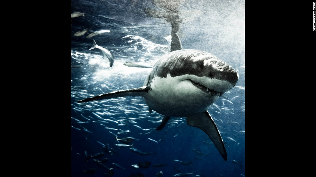 His aim is to raise awareness about the endangerment of shark populations around the world, and erode preconceptions of sharks as dangerous predators.