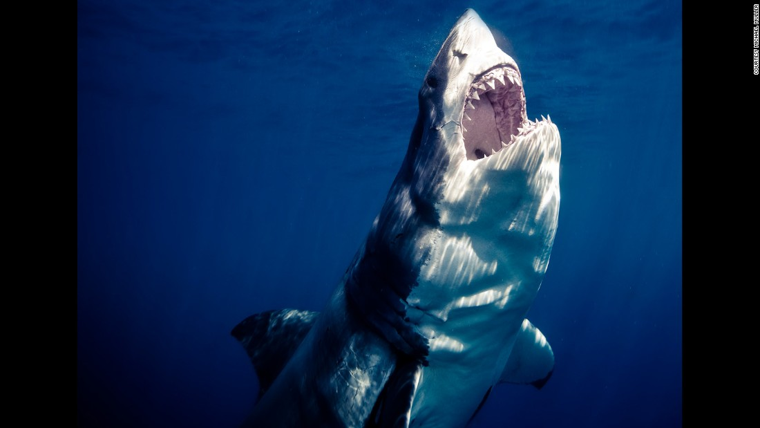 """""""We often see images such as this of their razor sharp teeth and that enormous bite. What people don't see is the bait or fish that this shark is going for,"""" Muller says."""