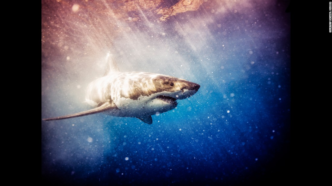 """""""Most of the time the shark is calmly and slowly swimming around investigating its surroundings, and trying to figure out what is food and what is threat."""""""