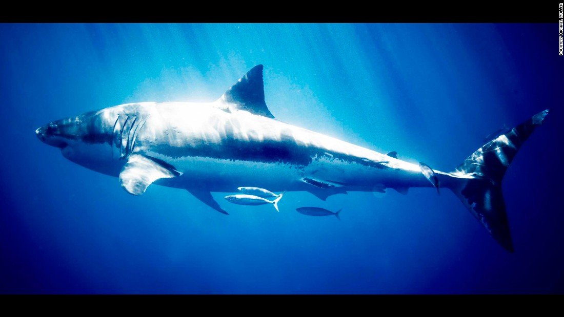 """""""2006 was my first time in the water with great whites -- and any shark for that matter -- and I was at first struck by their utter power and then their grace grew and grew on me,"""" Muller says."""