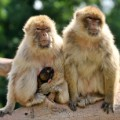barbary macaque 2