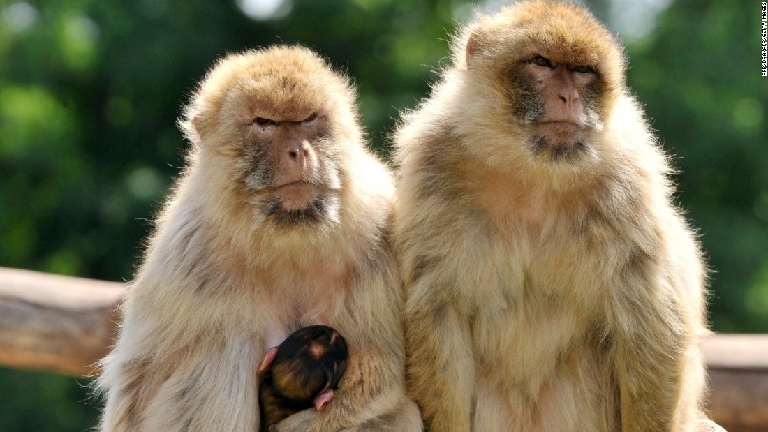 Morocco is arguing for greater protection of the monkeys, which are threatened by habitat destruction and trade of live animals.