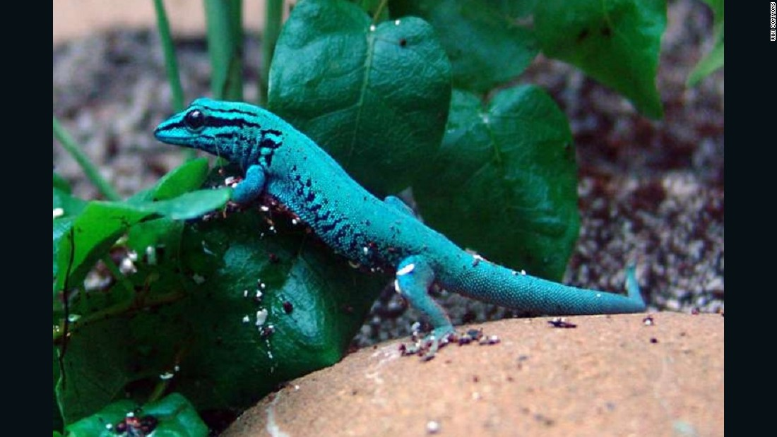 One of several gecko species that could receive Appendix I protection as a rapidly growing pet market has become a threat to wild populations.