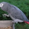 african parrot 2