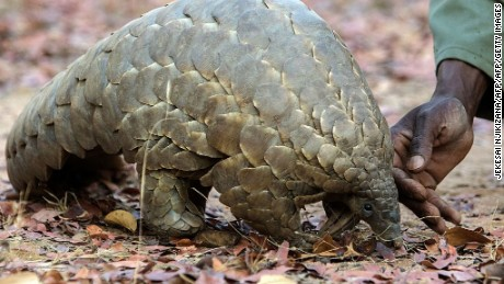 Related story: Race to save rare pangolin from tragic end