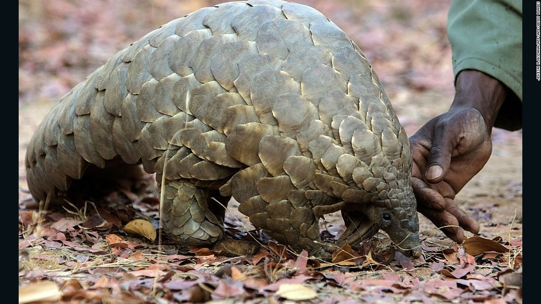 All eight species of pangolin could be given the highest-protected status in recognition of a vast illegal trade that has decimated their numbers. <br /><br />Pangolin scales are in great demand for use in traditional Asian medicines.