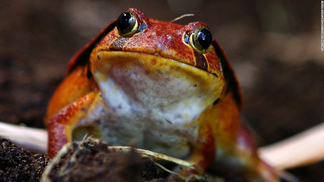 """Madagascar is proposing to move the species to Appendix II as the populations are """"stable and abundant."""""""