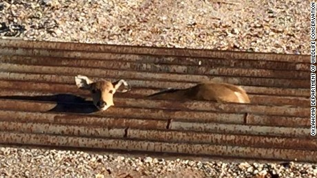 Fawn trapped in cattle guard in Oklahoma.