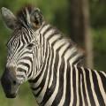 south africa zebra