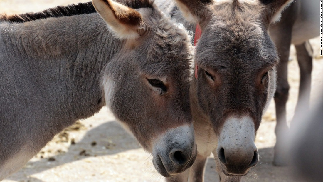 """Donkeys have become a coveted resource for China, which has struggled to maintain its own population, and requires gelatin from hide for the traditional medicine ejiao.<br /><br />Trade and partnership deals between African countries and China have been steadily increasing in recent years. Chinese investment is already the leading source of <a href=""""http://www.bakermckenzie.com/news/China-is-poised-to-remain-the-biggest-funding-source-for-Africas-infrastructure-projects-01-28-2016/"""" target=""""_blank"""">infrastructure spending</a> in Africa, and through China's import-export bank projects that investment will reach <a href=""""http://www.scmp.com/business/banking-finance/article/1358902/china-provide-africa-us1tr-financing"""" target=""""_blank"""">$1 trillion</a> by 2025."""